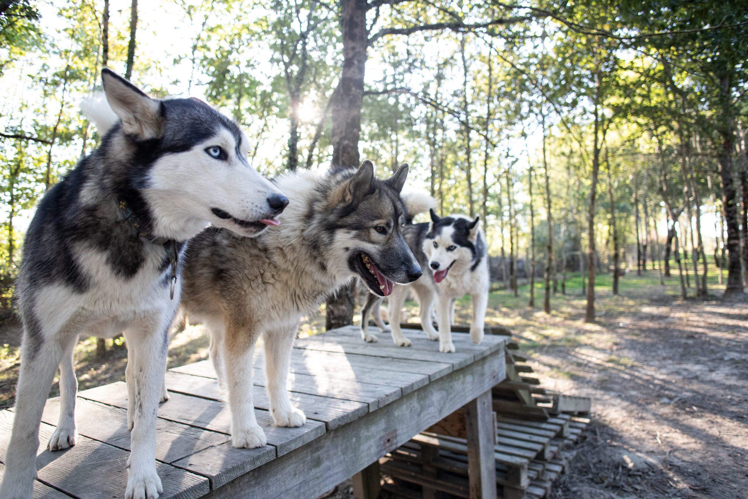 Les chiens de Husk'in Creuse