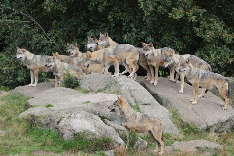 Les loups de Chabrières